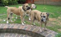 Claymore boerboele UK 2011.JPG